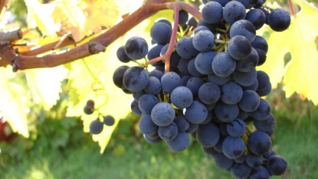 montepulciano-620x349 Vitigni e vini d'Abruzzo