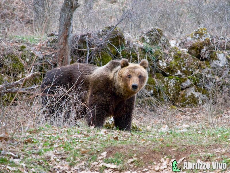 orso-bruno Orso bruno marsicano: 6 nuovi nati nel 2015